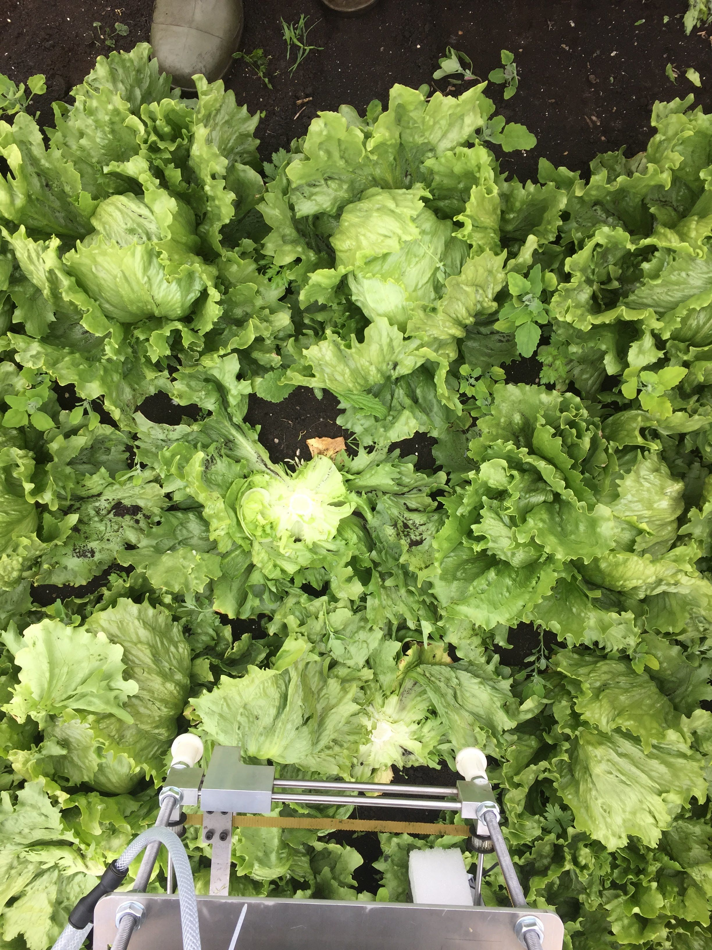 Researchers develop robot that can identify and pick lettuce